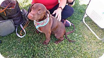Labrador Retriever/Basset Hound Mix Puppy for adoption in Rancho Cucamonga, California - Charlotte