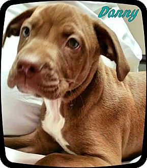 Pit Bull Terrier Mix Puppy for adoption in Ahoskie, North Carolina - Danny