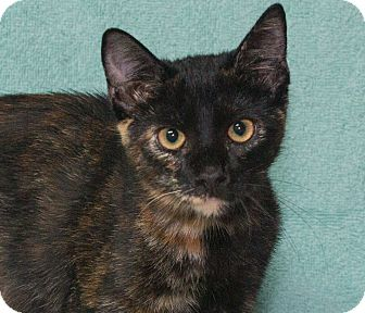 Domestic Shorthair Kitten for adoption in Elmwood Park, New Jersey - Roxy