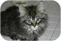 Maine Coon Kitten for adoption in Arlington, Virginia - Lancelot