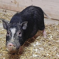 Pig (Potbellied) for adoption in Woodstock, Illinois - Rafiki