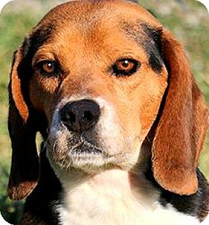 Beagle Dog for adoption in Winchester, Kentucky - BERT & ERNIE(LOST THEIR HOME!!