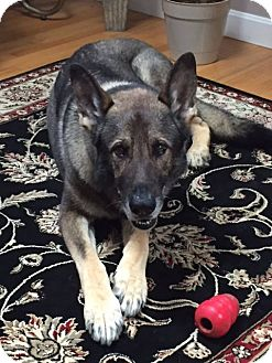 Shepherd (Unknown Type) Mix Dog for adoption in Acushnet, Massachusetts - Thunder