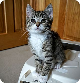 Domestic Shorthair Kitten for adoption in Manitowoc, Wisconsin - Louise
