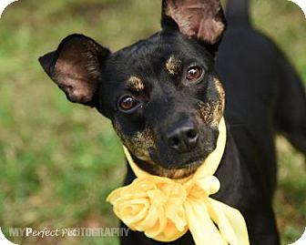 Terrier (Unknown Type, Medium)/Manchester Terrier Mix Dog for adoption in Miami, Florida - belle