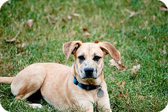 Labrador Retriever Mix Dog for adoption in Nashville, Tennessee - Annie