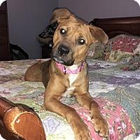 Adopt A Pet :: Ivy - Raritan, NJ