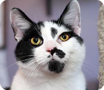 Domestic Shorthair Cat for adoption in Royal Oak, Michigan - DEADPOOL