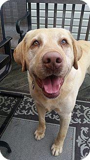 Labrador Retriever Dog for adoption in Annapolis, Maryland - Ringo