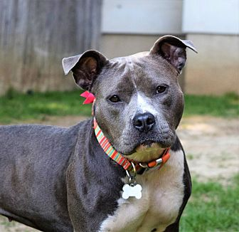 American Staffordshire Terrier Dog for adoption in Kittery, Maine - CALLIE