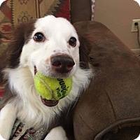 Adopt A Pet :: Potato - Albuquerque, NM