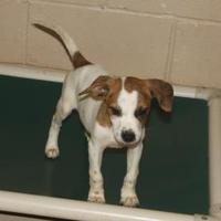 Adopt A Pet :: Sable - Russellville, KY