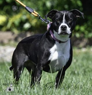 Terrier (Unknown Type, Small)/Border Collie Mix Dog for adoption in Ottumwa, Iowa - Sammie(Jackie)
