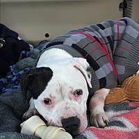 Adopt A Pet :: Pancake - Indianapolis, IN