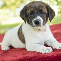 Adopt A Pet :: Hershey- Sweet litter little guy - Santa Fe, TX