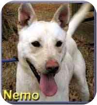 German Shepherd Dog Mix Dog for adoption in Aldie, Virginia - Nemo