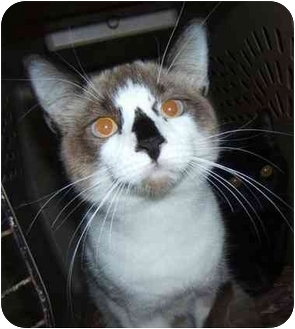 Snowshoe Kitten for adoption in Dallas, Texas - Pinnochio