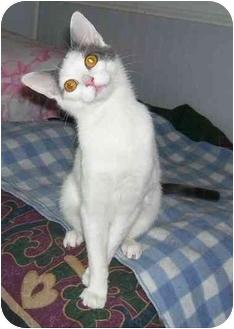 Domestic Shorthair Kitten for adoption in Odenton, Maryland - Tinker
