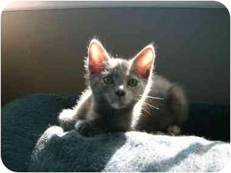Domestic Shorthair Kitten for adoption in Irvine, California - Callistra (Callie)