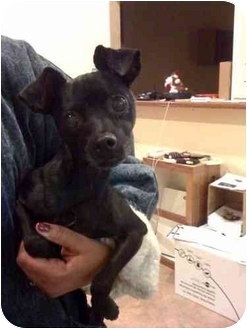 Chihuahua Mix Dog for adoption in Youngwood, Pennsylvania - Nightshade