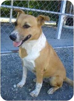 Australian Cattle Dog Mix Dog for adoption in Greenville, North Carolina - Cassie