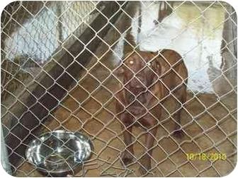 Labrador Retriever Dog for adoption in Grand Saline, Texas - Cocoa