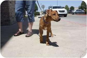American Pit Bull Terrier/Weimaraner Mix Puppy for adoption in Arlington, Texas - Dex
