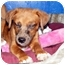 Photo 2 - Dachshund Mix Puppy for adoption in Palm Harbor, Florida - Andy and Amos