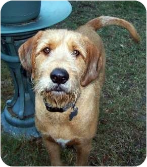 Black and Tan Coonhound/Airedale Terrier Mix Dog for adoption in Dallas, Texas - Buster Brown