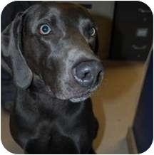 Weimaraner Mix Dog for adoption in Elliot Lake, Ontario - Magnum
