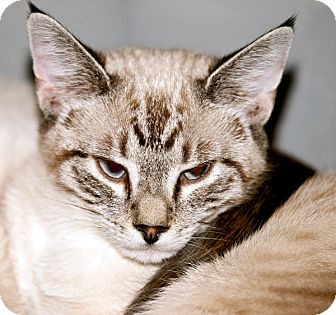 Siamese Cat for adoption in Colville, Washington - Shyla