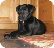 Labrador Retriever Mix Puppy for adoption in Washington, D.C. - Olivia