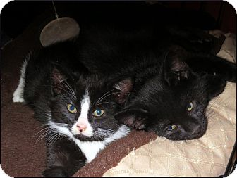 Domestic Shorthair Cat for adoption in Colville, Washington - Licorice, Reggie & Crystal