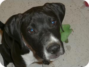 Labrador Retriever/Pit Bull Terrier Mix Puppy for adoption in Anza, California - Huey