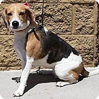 Adopt A Pet :: Sophie - Gilbert, AZ