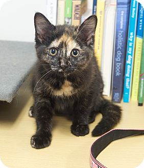 Domestic Shorthair Kitten for adoption in Chattanooga, Tennessee - Amber