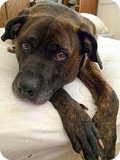 Mastiff Mix Dog for adoption in Salt Lake City, Utah - Tug