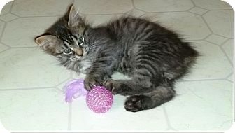 Domestic Mediumhair Kitten for adoption in Huntsville, Alabama - Stumpy
