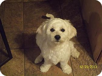Bichon Frise Mix Dog for adoption in Cool Ridge, West Virginia - Bailey