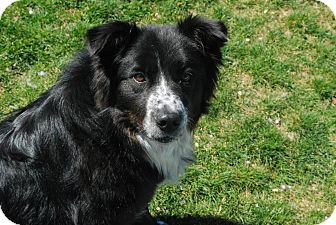 Border Collie Mix Dog for adoption in Twin Falls, Idaho - Renny