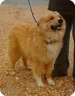 Sheltie, Shetland Sheepdog Mix Dog for adoption in Westport, Connecticut - Laddie
