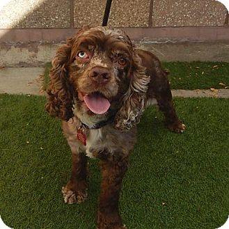 Cocker Spaniel Mix Dog for adoption in Denver, Colorado - Cricket