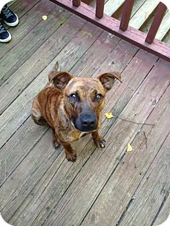 Plott Hound/American Staffordshire Terrier Mix Dog for adoption in Point Pleasant, Pennsylvania - HICKORY=URGENT FOSTER HOME NEEDED