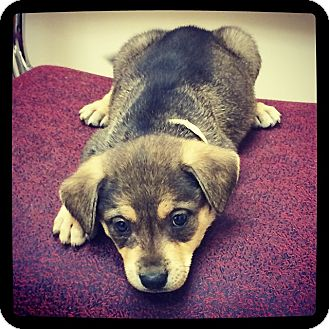 Shepherd (Unknown Type) Mix Puppy for adoption in Grand Bay, Alabama - Texan