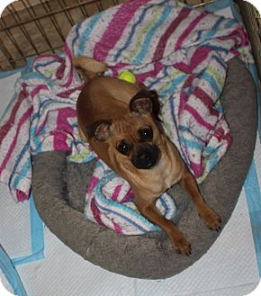 Pug/Chihuahua Mix Dog for adoption in Ridgecrest, California - Jeffrey