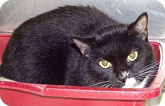 Domestic Shorthair Cat for adoption in Brooksville, Florida - BEN