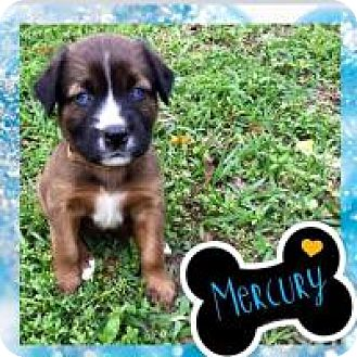 American Bulldog Mix Puppy for adoption in Marlton, New Jersey - Mercury