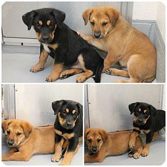 Golden Retriever/German Shepherd Dog Mix Puppy for adoption in whiting, New Jersey - Ernie