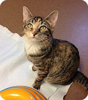 Domestic Shorthair Kitten for adoption in Hendersonville, North Carolina - Milky Way