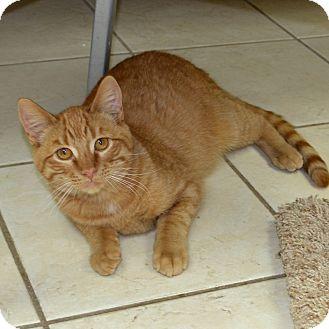 Domestic Shorthair Cat for adoption in Wheaton, Illinois - Little Rascal